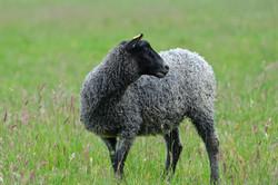 Tuva lamb