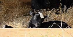 Signe lamb