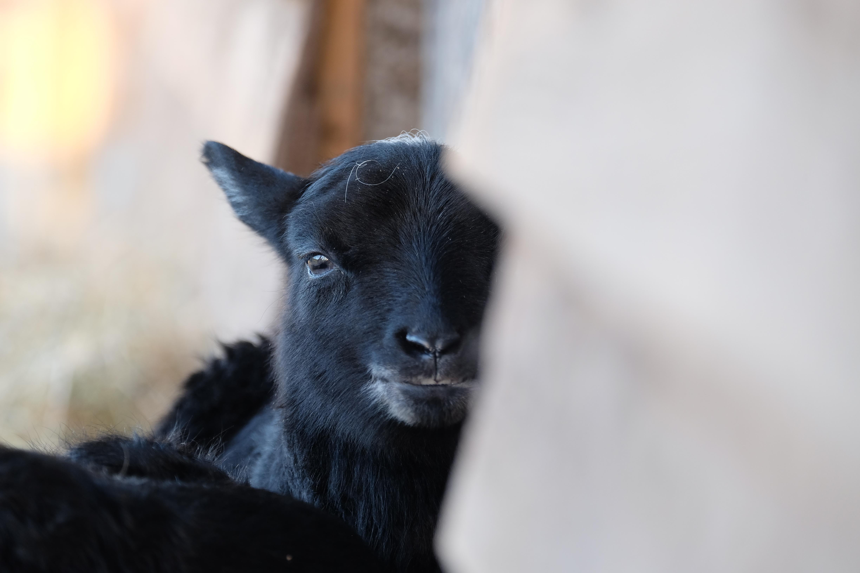 Signe baby lamb