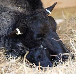 Ulla and baby lamb