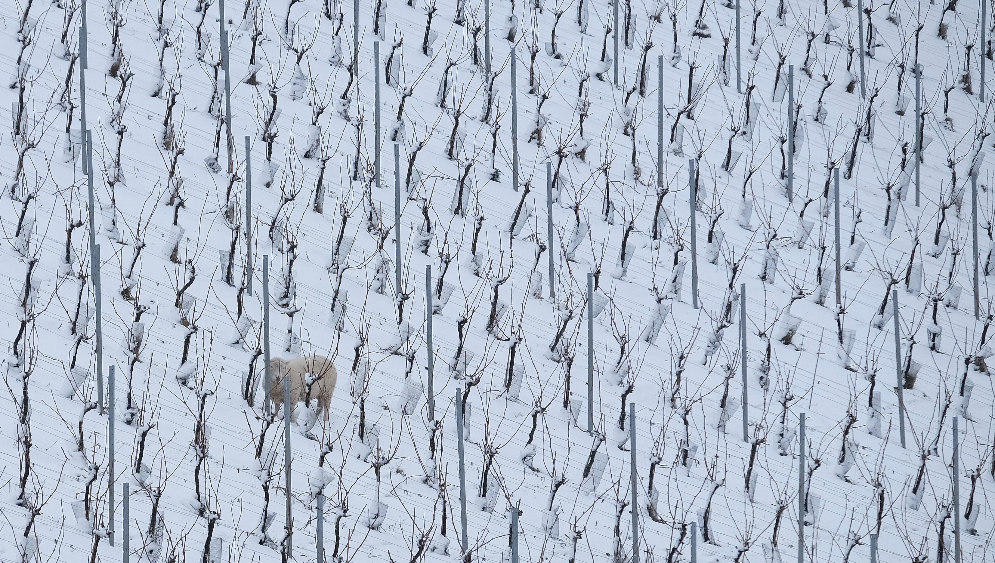 Sheep in the vines ...