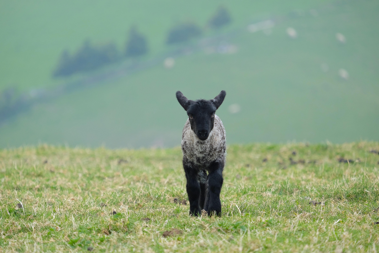 Lamb at Coombe Farm