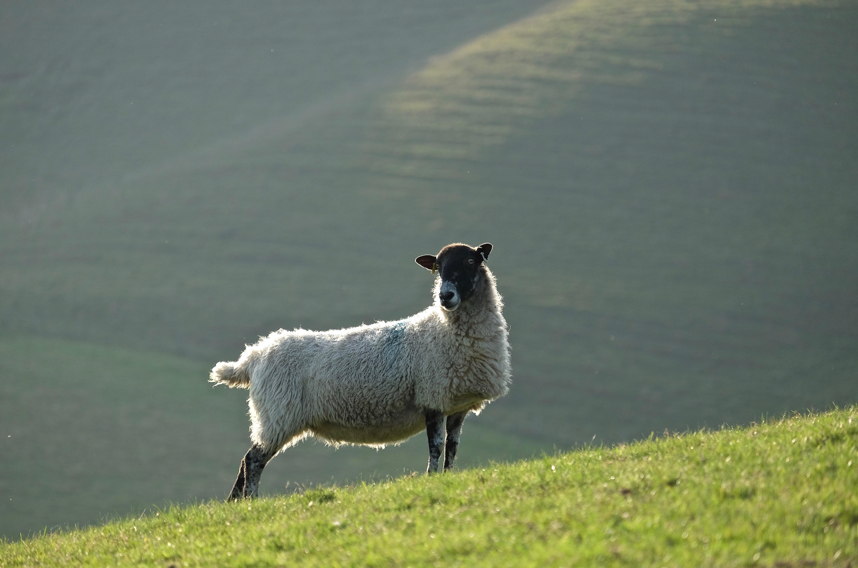 Ewe on hills above vineyard