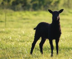 Siri lamb