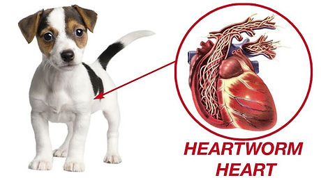 Heartworm-In-Heart_edited.jpg