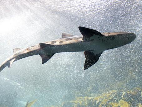 Pivot Sharknado