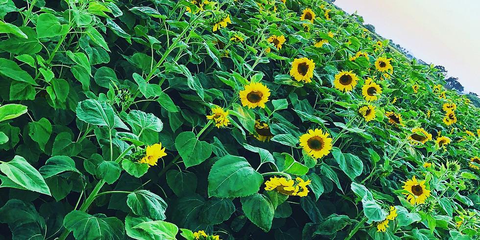 You Pick Sunflower Field 2020