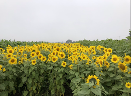 2020 You Pick Sunflower Field Reservations Now Open!