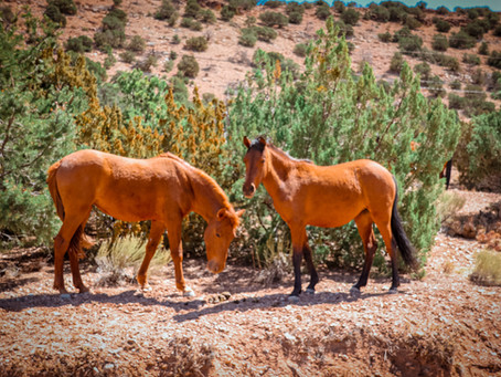 The Patented and First Wild Horse Roundup Alternative by WPM is Achieving Successful Results!