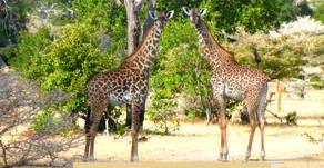 Afrika|Tansania|Safari im Selous Nationalpark|Reise von Sansibar zum Selous