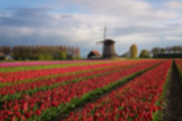 Diagonal rows of colorful tulips in red and pink in a landscape with a flower field and a windmill in the background near Amsterdam in the Netherlands in spring.