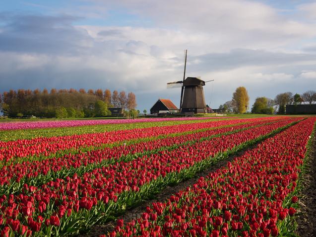 windmill-tulips-flowers-ip_edited.jpg