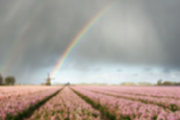 A rainbow under heavy clouds during a thunderstorm over a windmill and pink hyacinth flower fields in a landscape in the Netherlands in spring.
