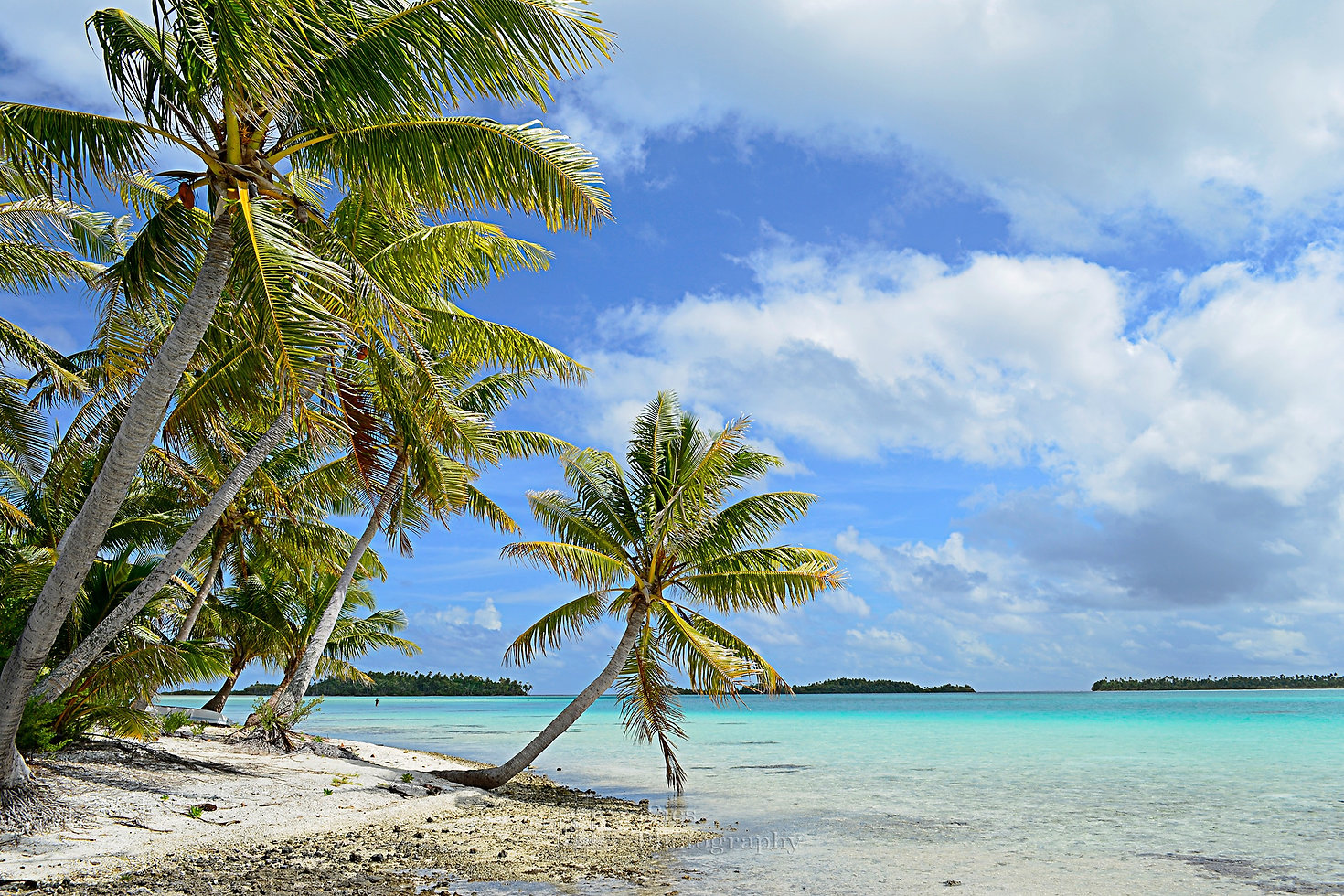 Summer landscape photograph of a hanging palm tree on a tropical white sand beach with a blue sea in the lagoon of the Tahiti archipelago French Polynesia in the Pacific Ocean.
