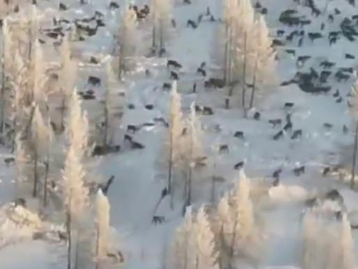 Специалисты опровергают нашествие волков на Челябинскую область