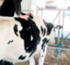 Dairy cow adjustment_edited.jpg