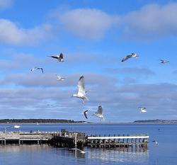 måger Rørvig Havn
