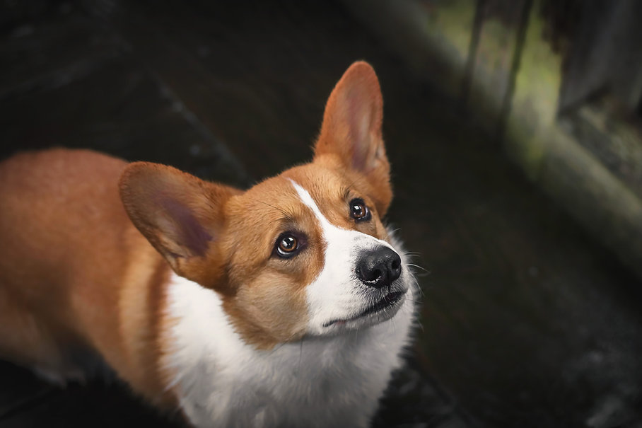 Corgi looking up while standing on a wooden deck