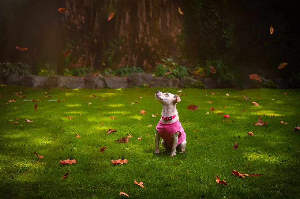 small rescue dog in a pink shirt looking up to the sky as autumn leaves fall around her