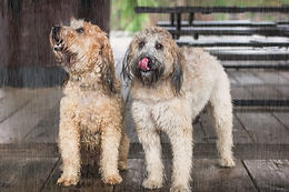 Rainy Day Pups.jpg