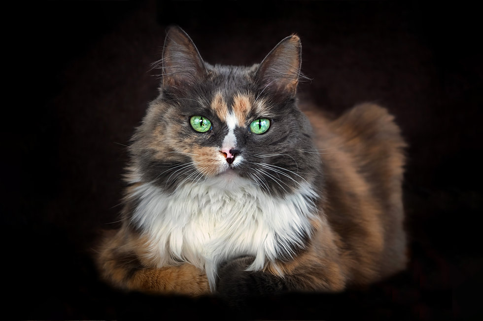 Polydactyl calico cat on black backdrop
