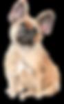 French Bulldog.png