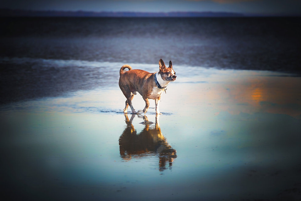 small dog walking across the beach with a reflection in the shallow water below him
