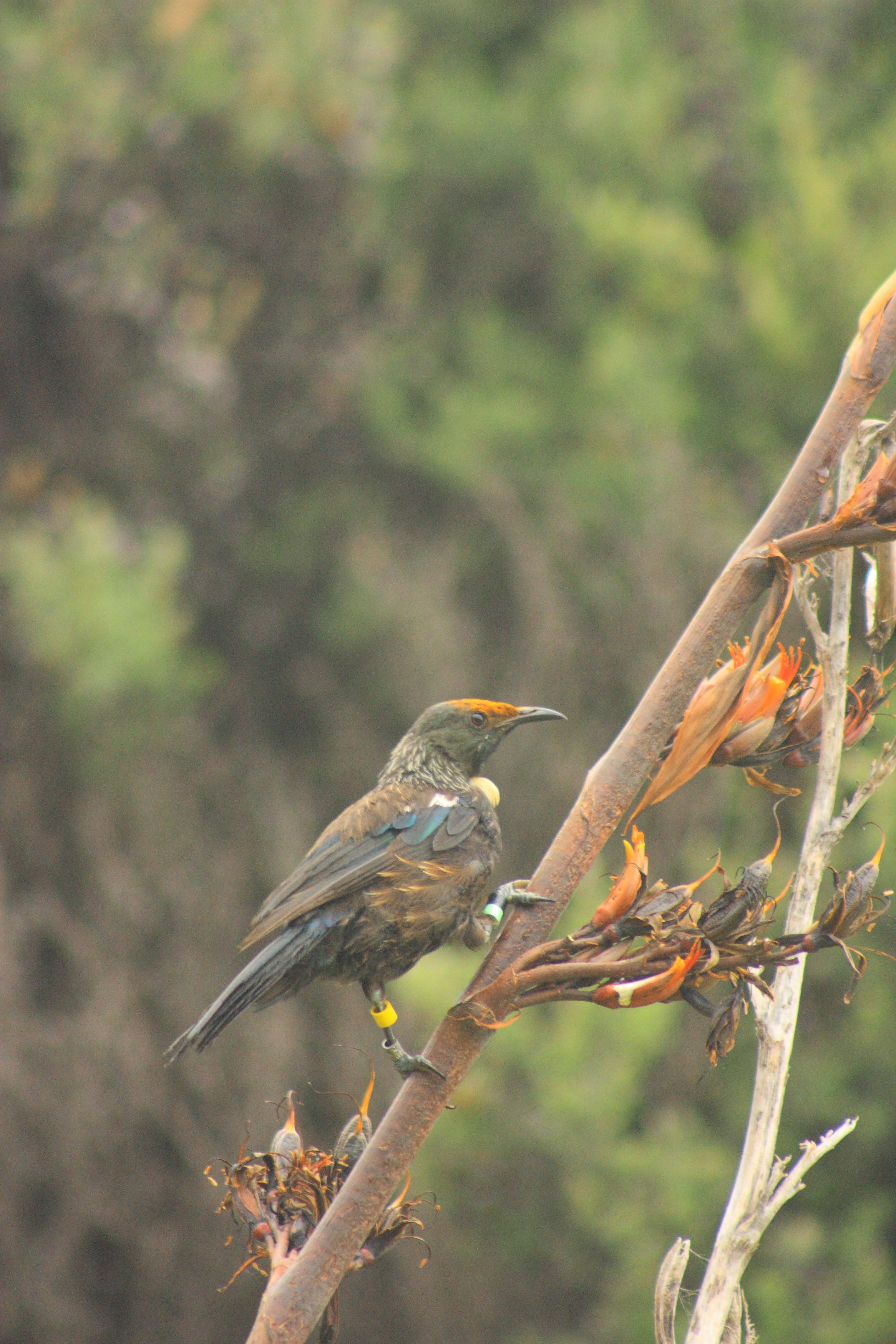 Tui on flax at Tawharanui