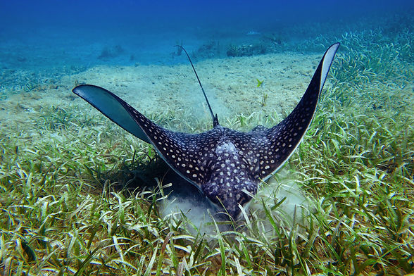 Eagle Ray Eating smaller size.jpg