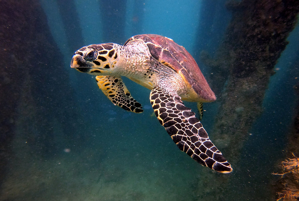 turtle, Vieques,