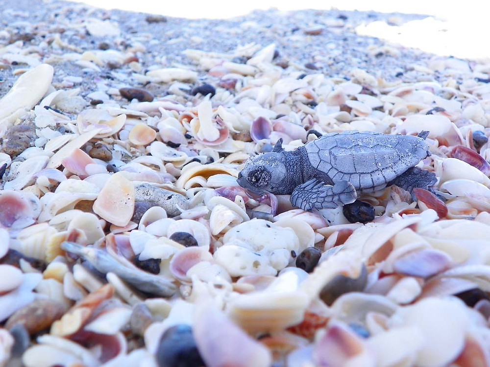 Hatchling sea turtle crawling on sand