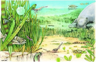 Artistic representation of wildlife including a manatee, fish, and shrimp, thriving near a seagrass bed.