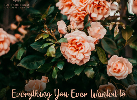 Everything You Ever Wanted to Know About Deadheading Roses