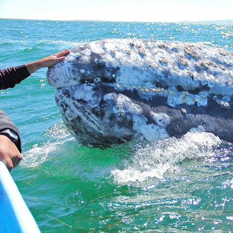 Got to play with Grey Whales in the open