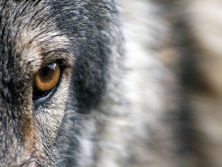 THE WOLF WHO ARRIVED HOME EMPTY-HANDED