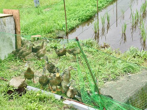 お米の収穫体験と陰干し体験