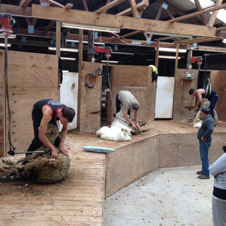 Shearing with the Elkins in Australia. My first day doing merinos!