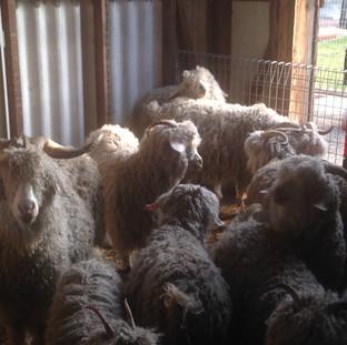Goats waiting to be sheared.