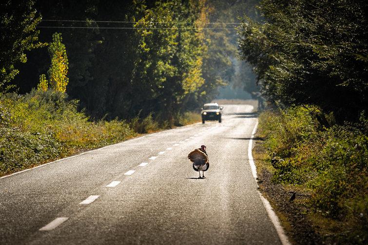 Pavo-Camino-Cunco, Araucanía Chile_ Claudio Ramírez fotógrafo de naturaleza y paisajes, outdoor photographer - Naturaleza chilena