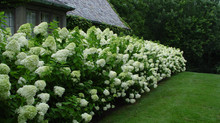 Can hydrangeas survive full sun?