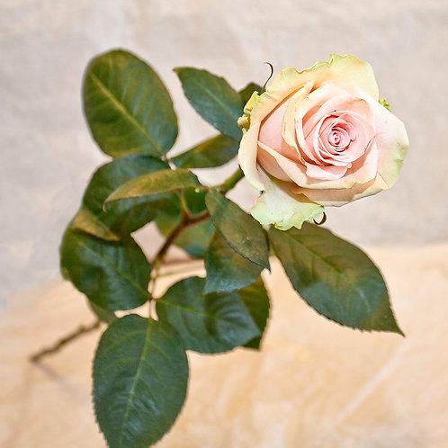 RivieraFlor - Rose Sweetness