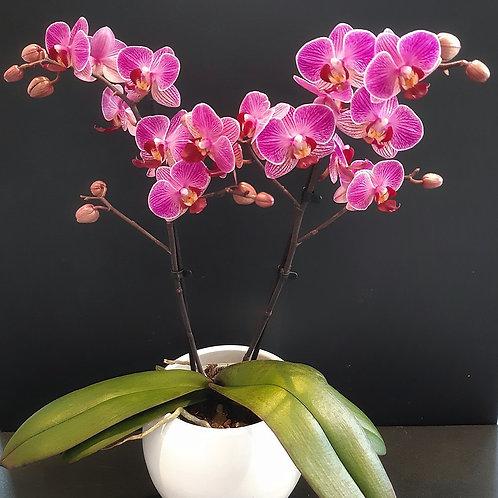 RivieraFlor - Papilleta -Orchidée