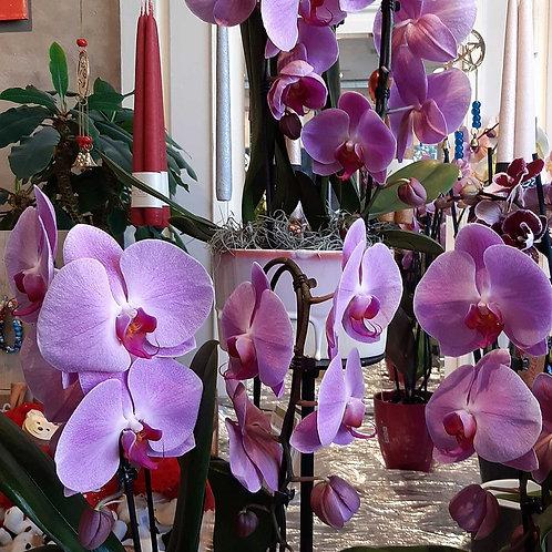 RivieraFlor - Phalaenopsis magic pink