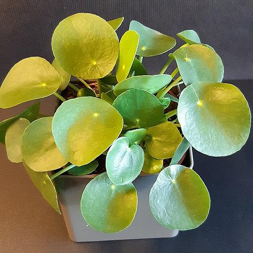 RivieraFlor - Pilea - Plante verte