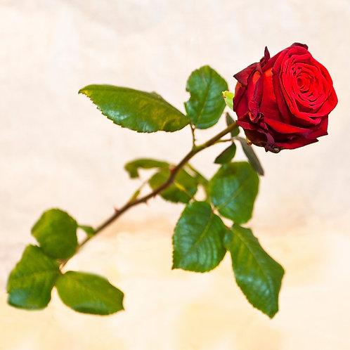 RivieraFlor - Red naomi - Rose rouge