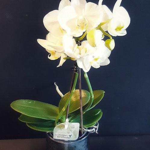 RivieraFlor - Orchidée blanche - Little Kolibri