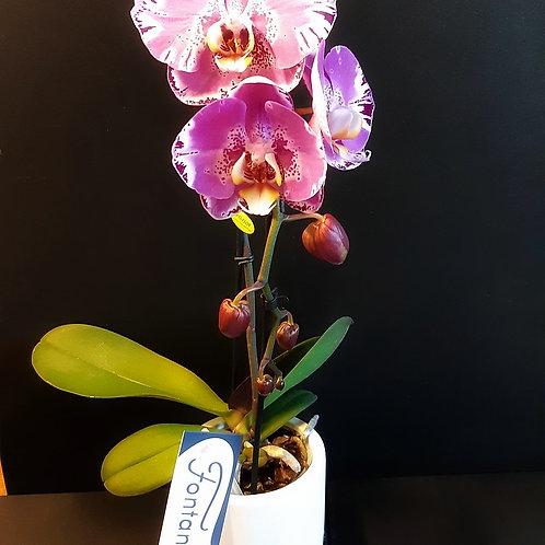 RivieraFlor - Phalaenopsis fontana
