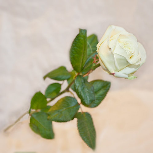 RivieraFlor - Rose Avalanche