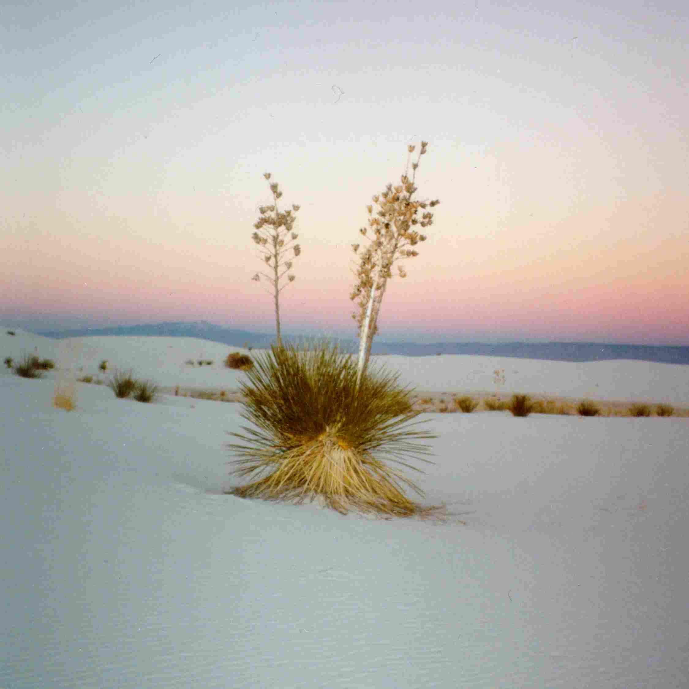 Landscape_Yucca_1-02