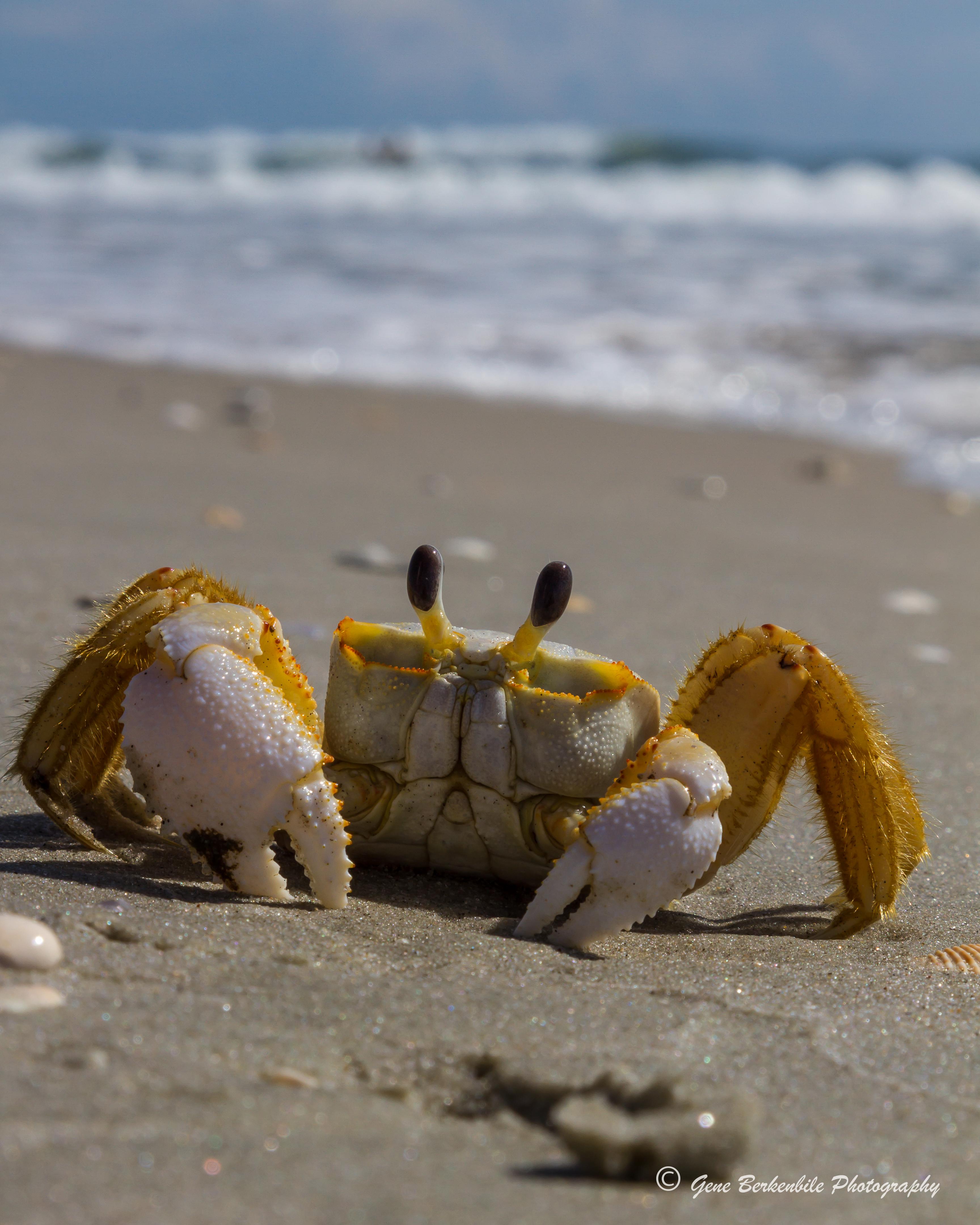 Injured Sand Crab